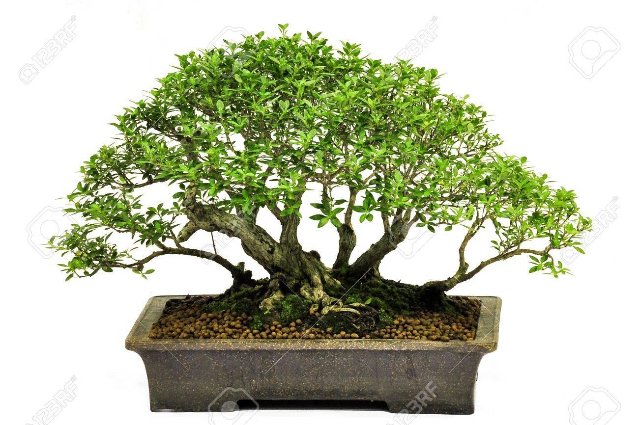 Bonsai in potpotted bonsai treesmall tree in pot isolated on bonsai in potpotted bonsai treesmall tree in pot isolated on white background mightylinksfo