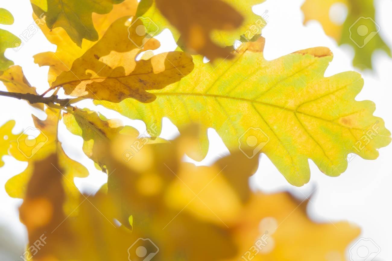 Weisseiche Quercus Robur Blatter Im Herbst Gelb Und Braun Gefarbt