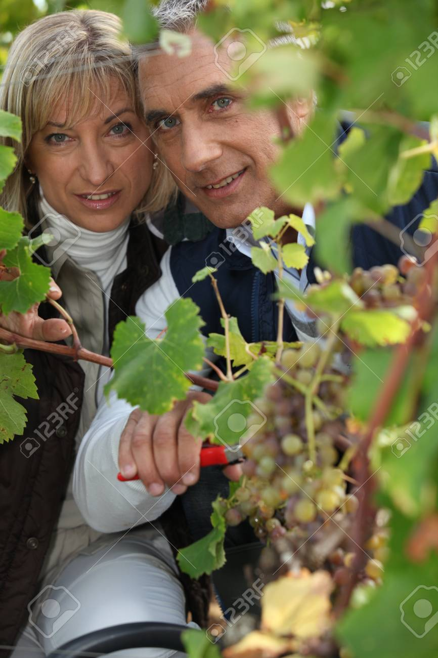 A couple harvesting grapes. Stock Photo - 13767335