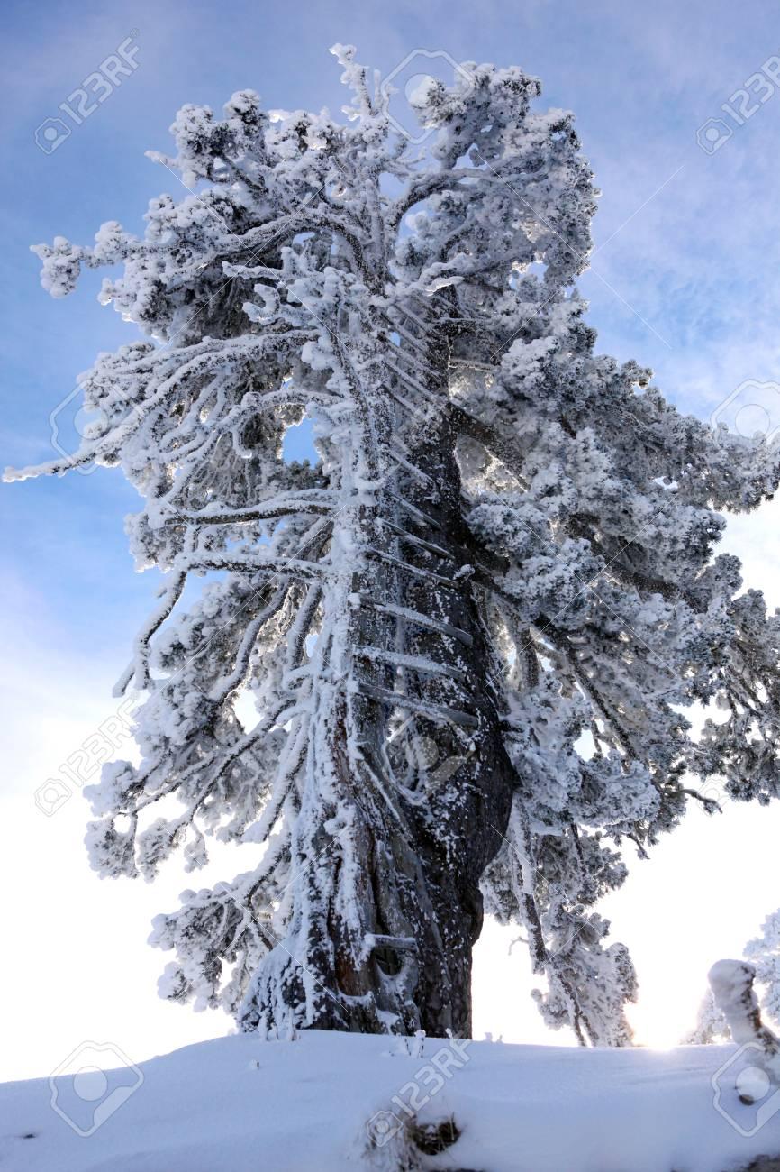 Snow laden tree Stock Photo - 24084180