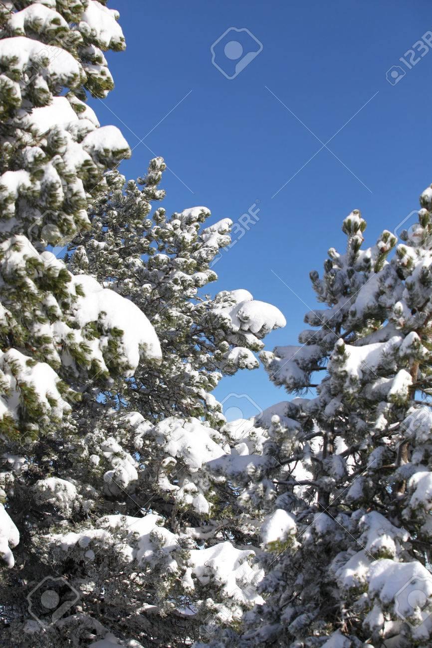 Snow laden trees Stock Photo - 26130469