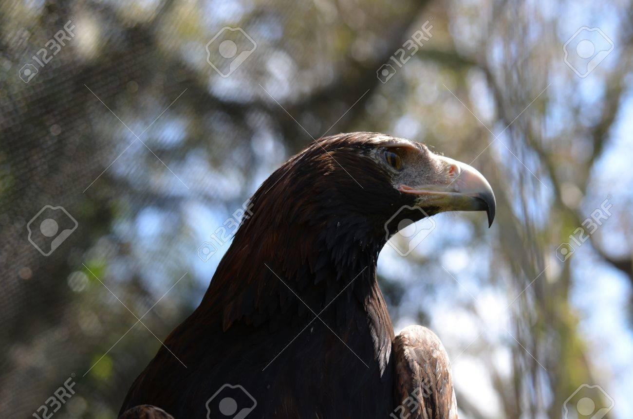 wedge tailed eagle close up Stock Photo - 10911237