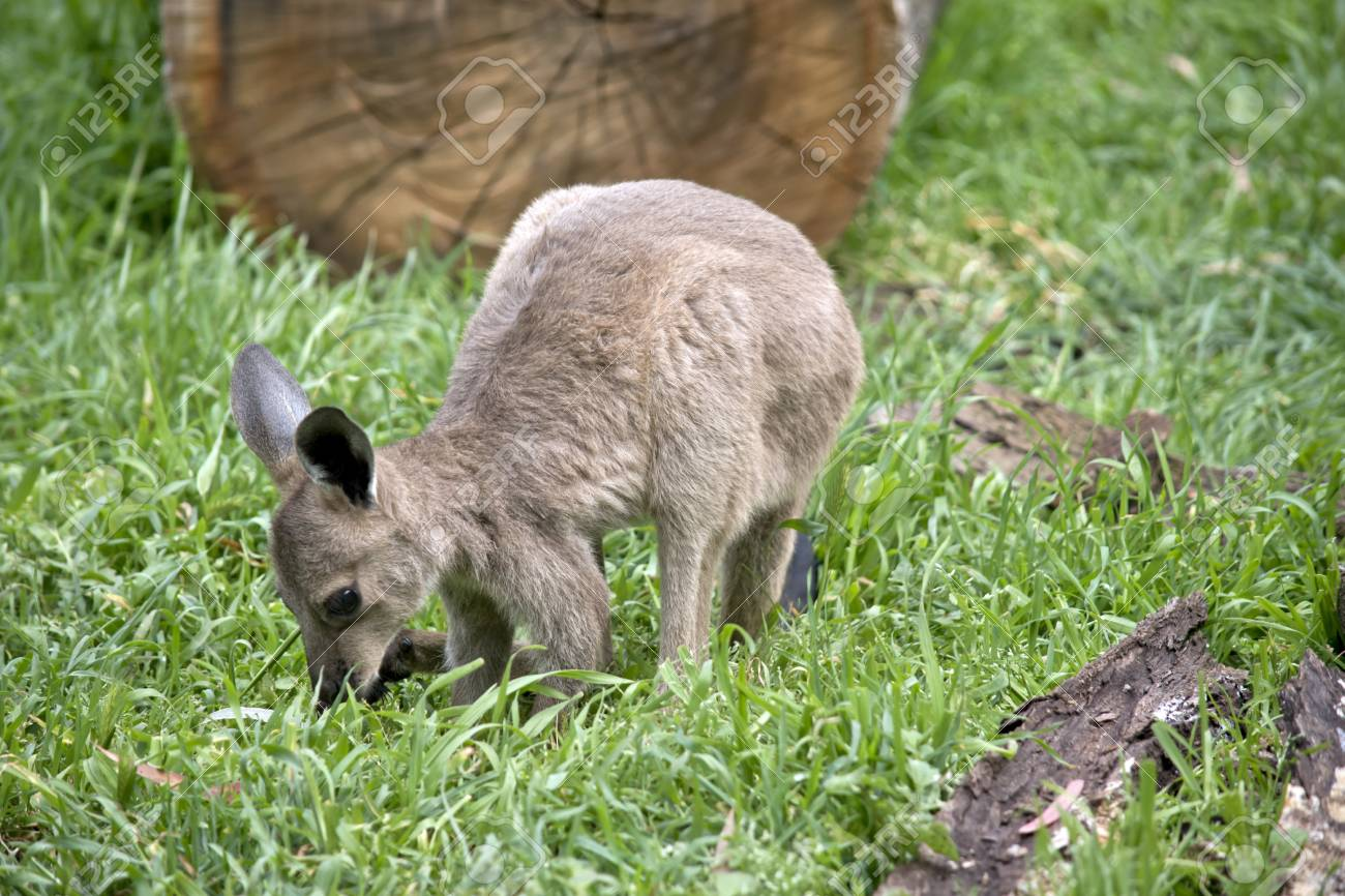 The Eastern Grey Kangaroo Joey Is Tasting Grass Stock Photo Picture