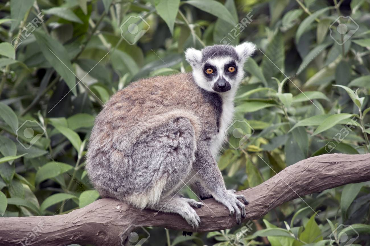 Image result for The Lemur