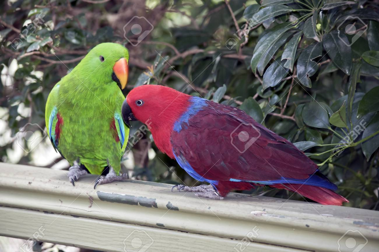 the two eclectus parrots are courting the male is green and the