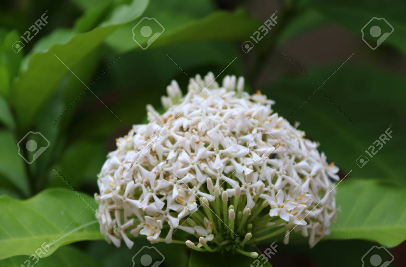 White Ixora Flower On The Tree West Indian Jasmine The Plants