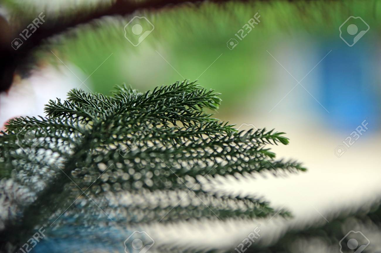 Closeup Of The Leaves Of The Pine Tree Christmas Tree It Is Stock