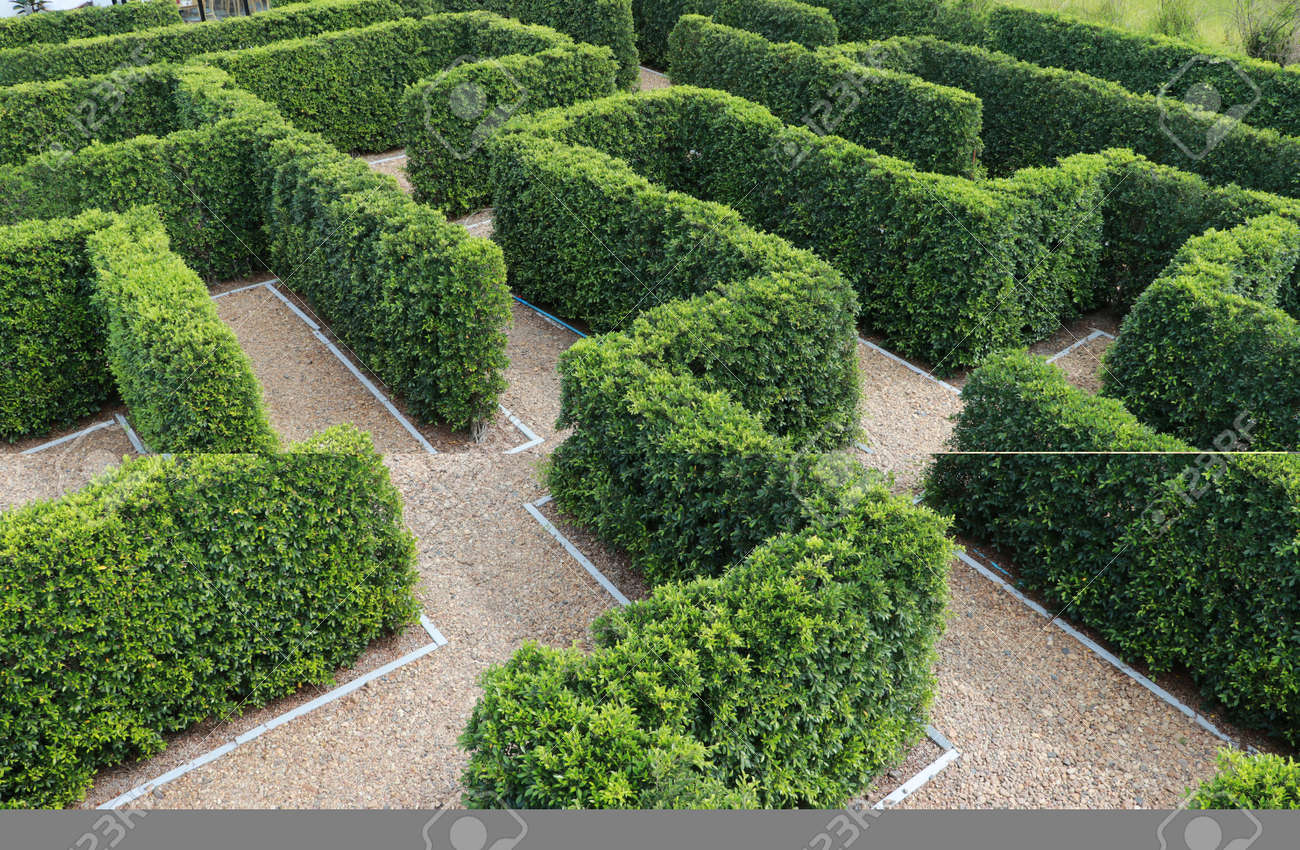 Green plant tree maze wall. Labyrinth maze garden. Build from the tree forming a wall in the park. - 160092254