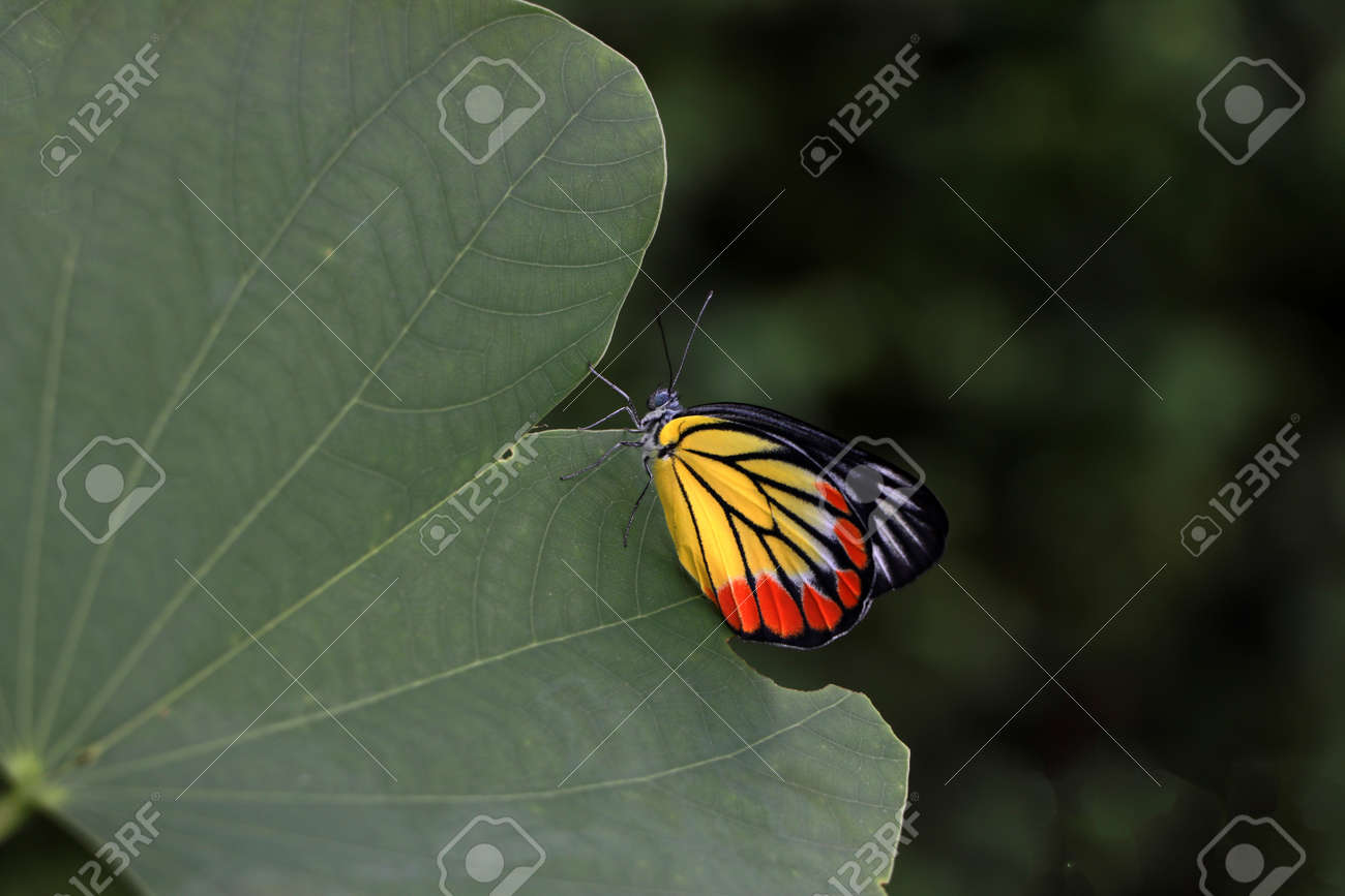 The butterfly perched on green leaf. Delias hyparete, the painted Jezebel, is a medium-sized butterfly of the family Pieridae, found in South Asia and Southeast Asia. - 162680067