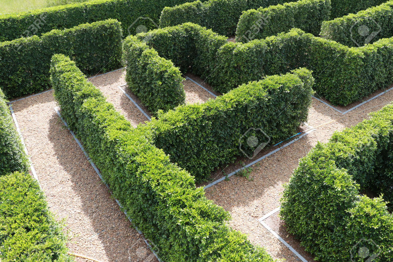Green plant tree maze wall. Labyrinth maze garden. Build from the tree forming a wall in the park. - 162865972