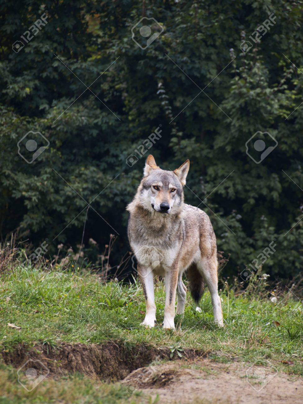 Wolf of serbia - 12120846