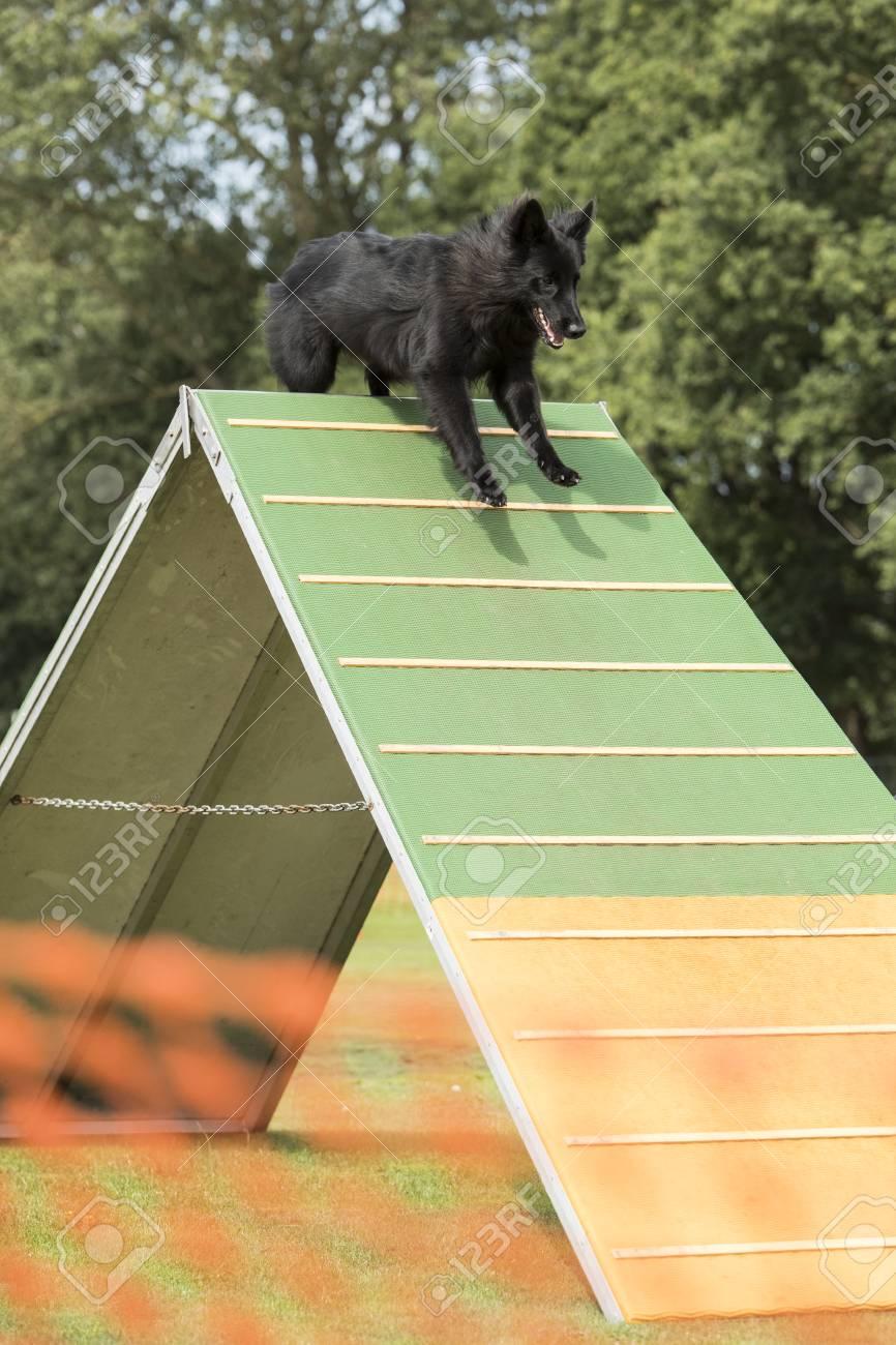 Dog, Belgian Shepherd Groenendael, Running Over Agility A-frame ...