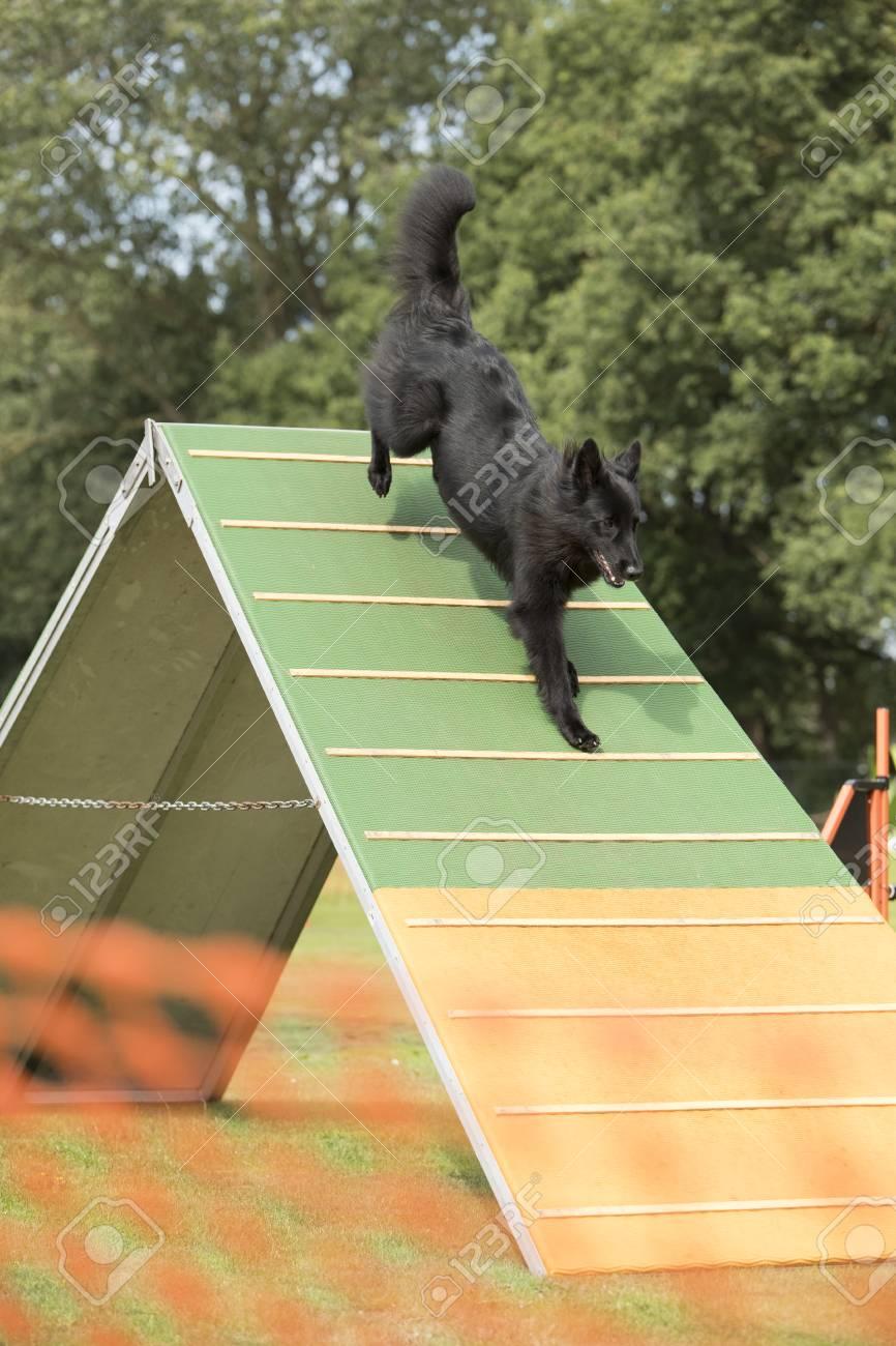 Dog, Belgian Shepherd Groenendael, Running Down On Agility A-frame ...