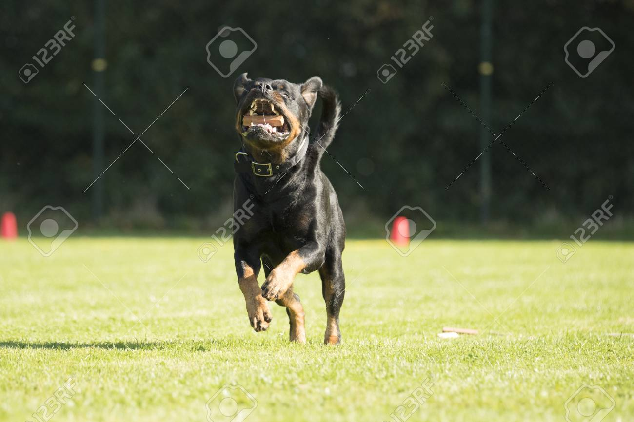 Dog Rottweiler Running With A Sorting Stick In His Mouth Stock