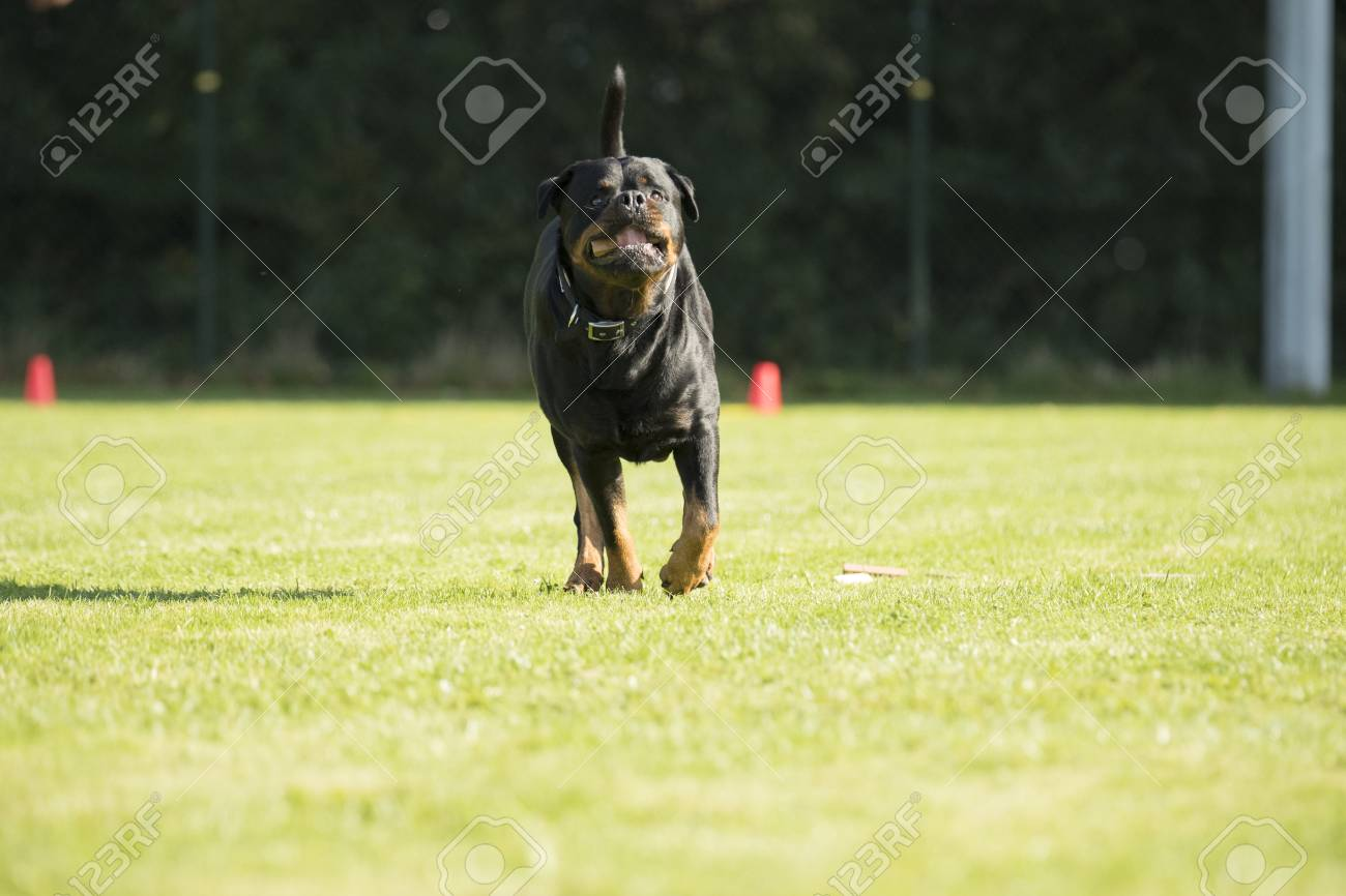 Dog Rottweiler Running With A Sorting Stick Is His Mouth Stock