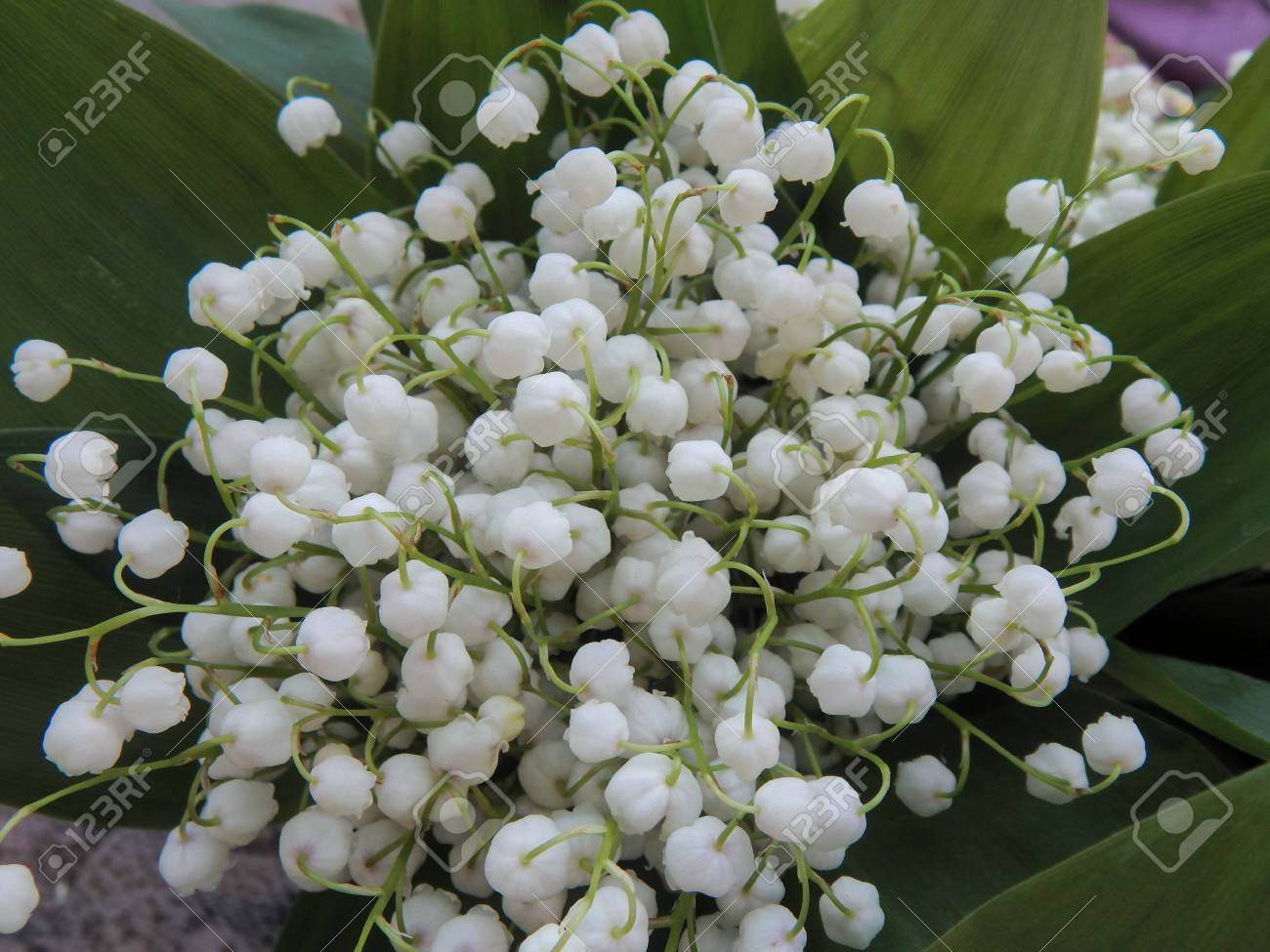 Bouquet Of Lily Of The Valley Close-up Stock Photo, Picture And ...