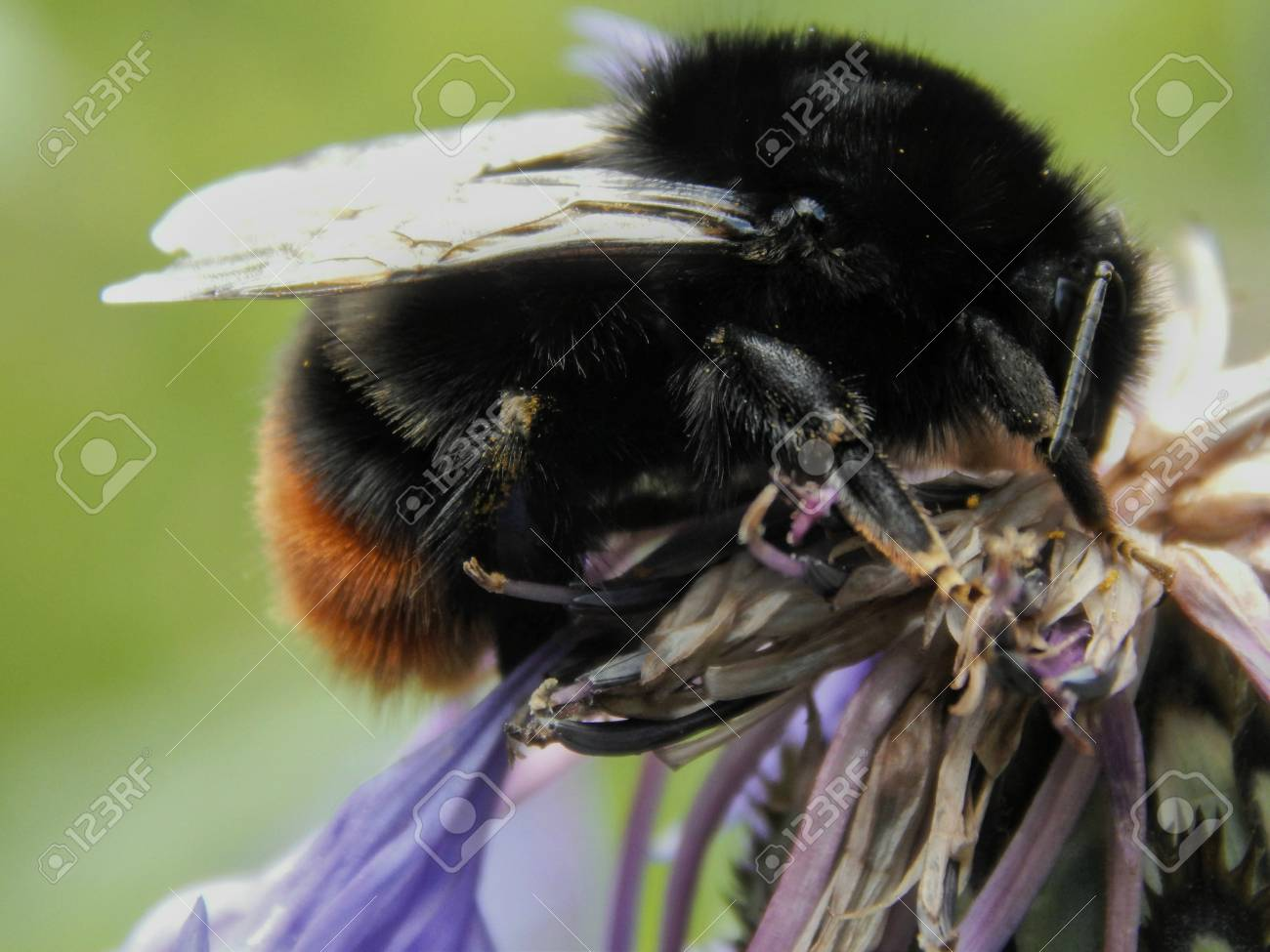 Black Bumble Bee >> Big Black Bumble Bee On Flower Close Up