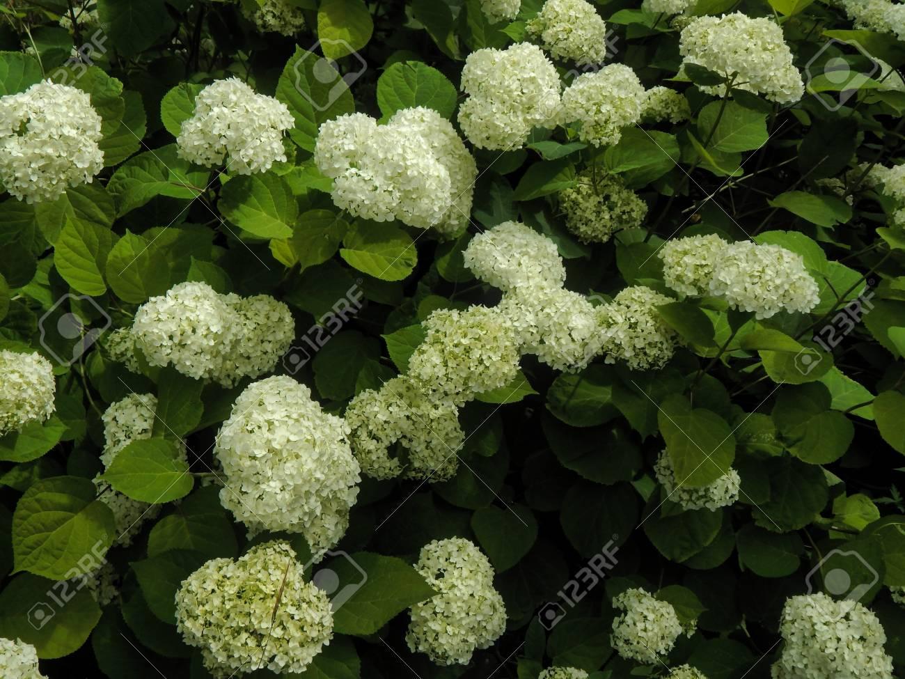 Flowering shrub with white flowers stock photo picture and royalty flowering shrub with white flowers stock photo 59685972 mightylinksfo