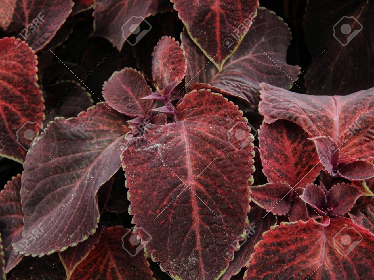 Decorative Perennial Plant Coleus On Sunshine Day Stock Photo