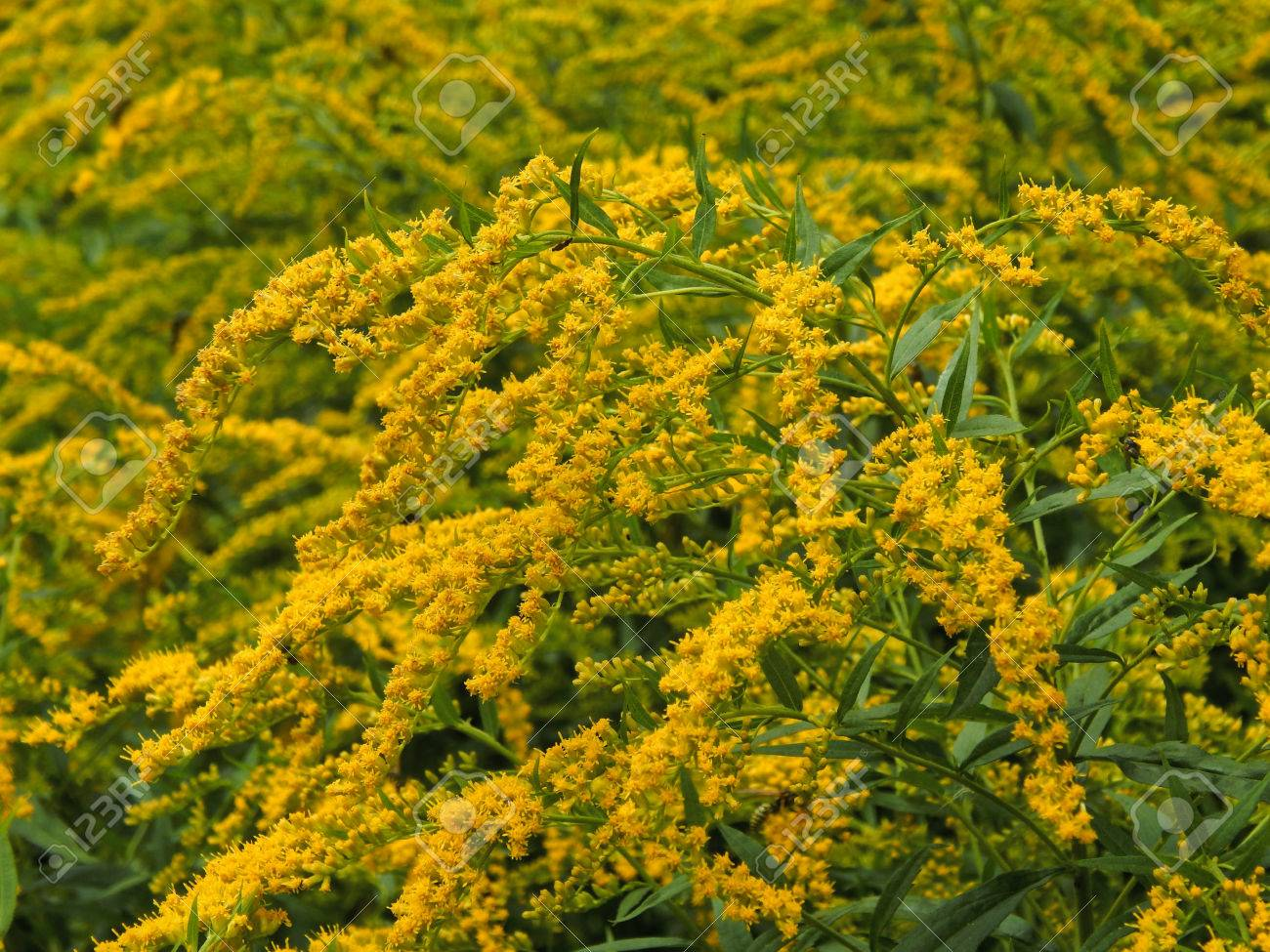 Wild Yellow Flowers Close Up Stock Photo Picture And Royalty Free