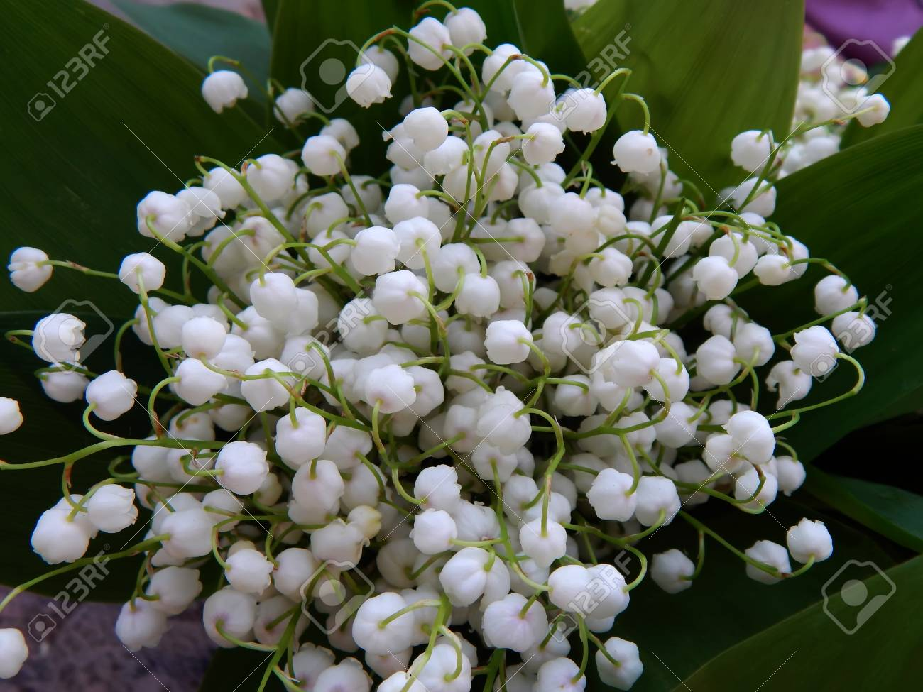 Beautiful Spring Bouquet Of Lily Of The Valley Close-up Stock Photo ...