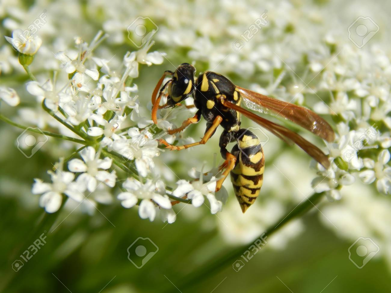 Wild wasp on white meadow flowers close-up - 103189999