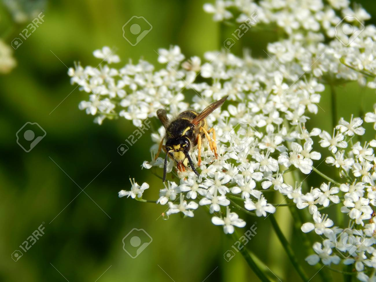 Wild wasp on white meadow flowers close up stock photo picture and stock photo wild wasp on white meadow flowers close up mightylinksfo