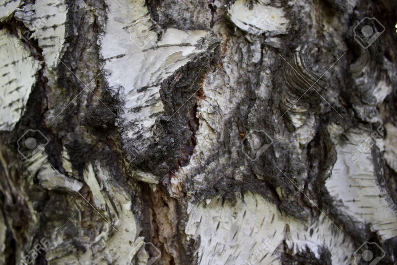 Corteza, árbol De Abedul En Todo El Marco Fotos, Retratos, Imágenes ...