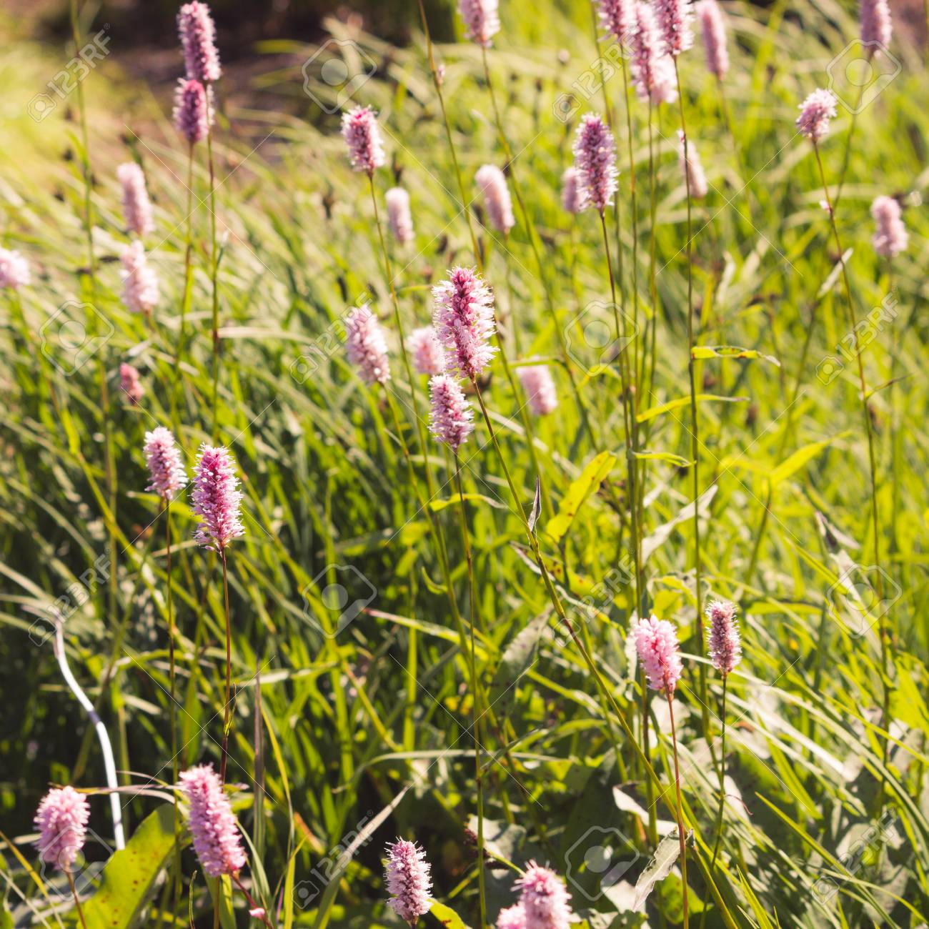 Beautiful Purple Flowers In A Green Area In The Green Grass On