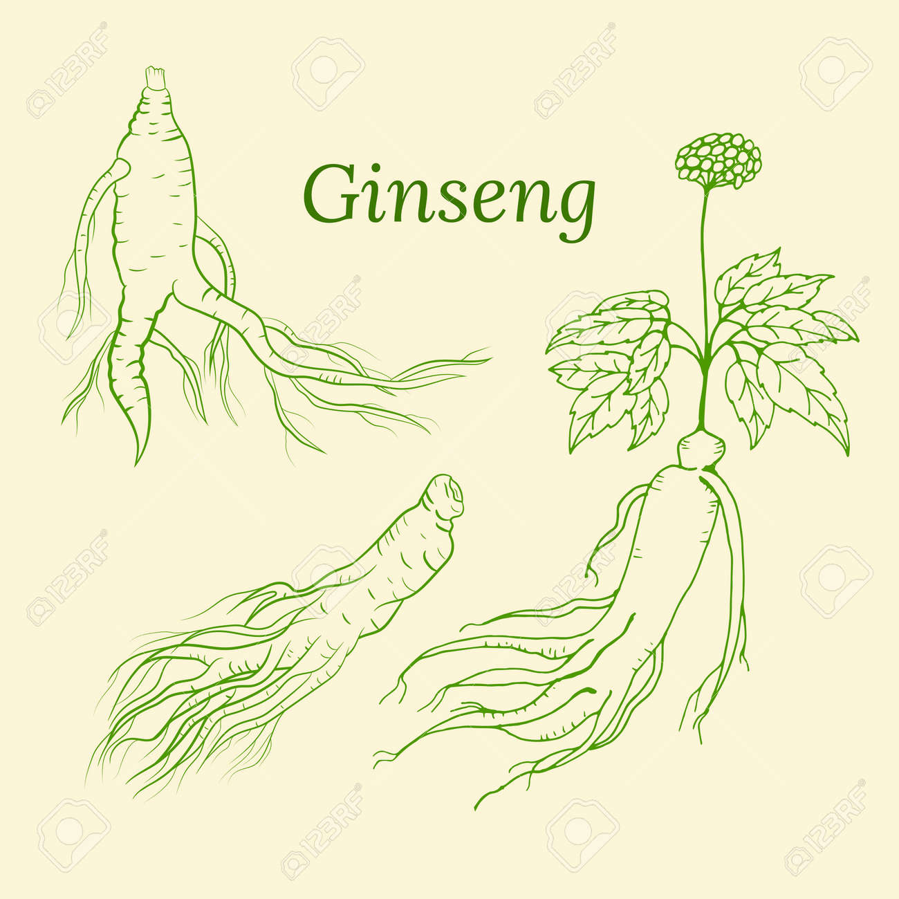 Drawing of leaves and root of ginseng. Ginseng root and berry vector drawing. A sketch of a medicinal plant. Linear graphic design. - 167026869
