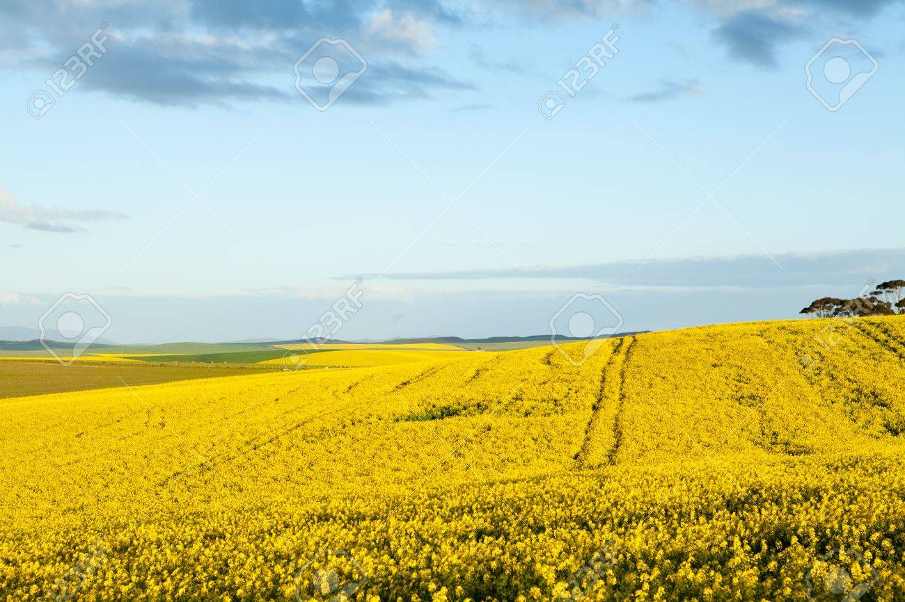 Golden Fields Of Yellow Canola Flowers In Bloom Stock Photo Picture