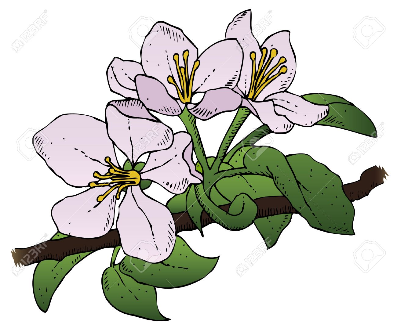 A realistic drawing of a group of apple blossoms on a branch Stock Vector - 18203784