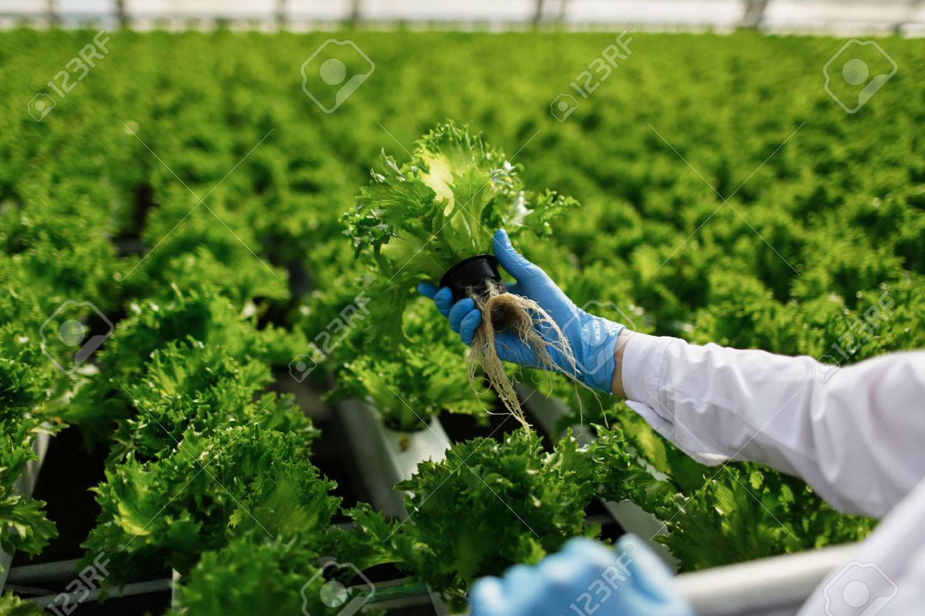 Quality control. Young female scientist stselects new breed of green salad optimized for consumption at greenhouse. Focus on the hand - 46175159