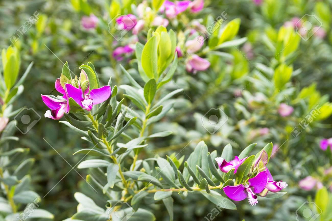 Polygala Myrtifolia   Myrtle Foglia Milkwort (Sweet Pea Arbusto) è Un Arbusto  Sempreverde Fioritura Con Fiori Somiglianti A Quelle Del Pisello Dolce.