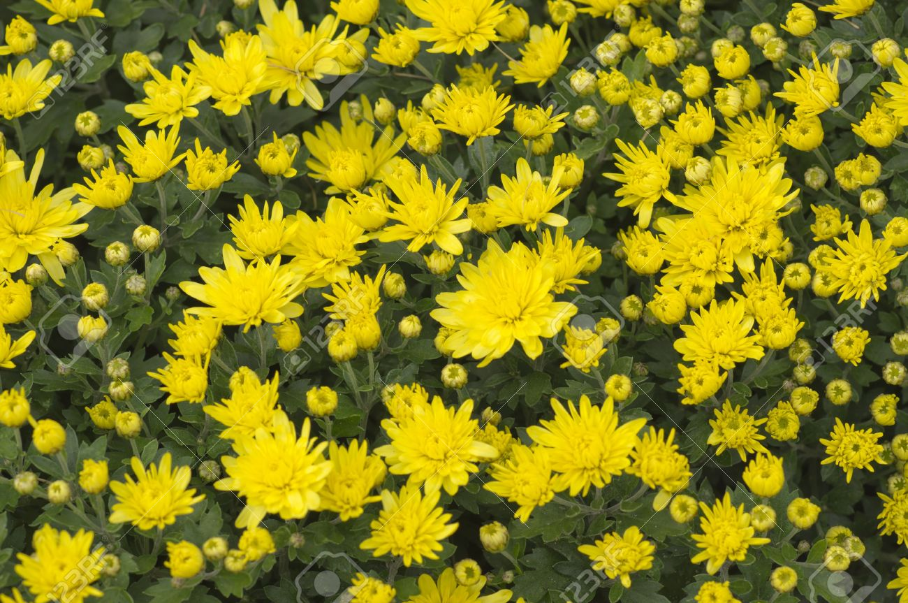 Fleurs D\'automne Chrysanthème Jaune Jardin Closeup Banque D\'Images ...
