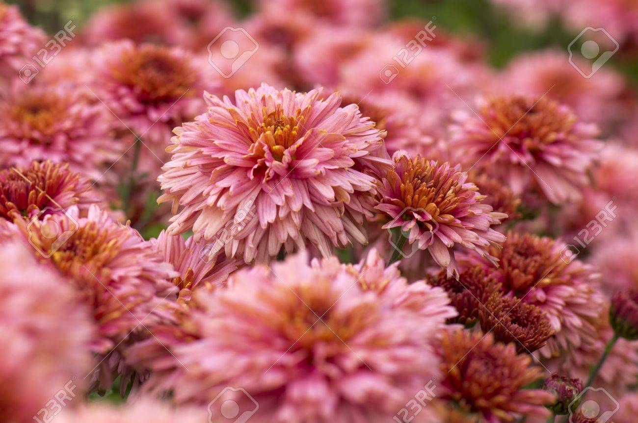 Autumn Flowers Pink Chrysanthemum Garden Closeup Stock Photo