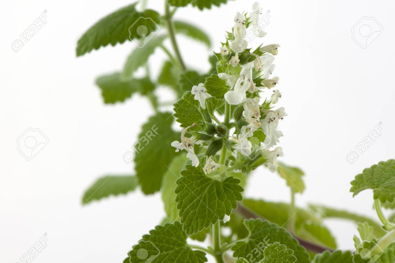 Blooming melissa officinalis close-up on a white background Stock Photo - 14119108