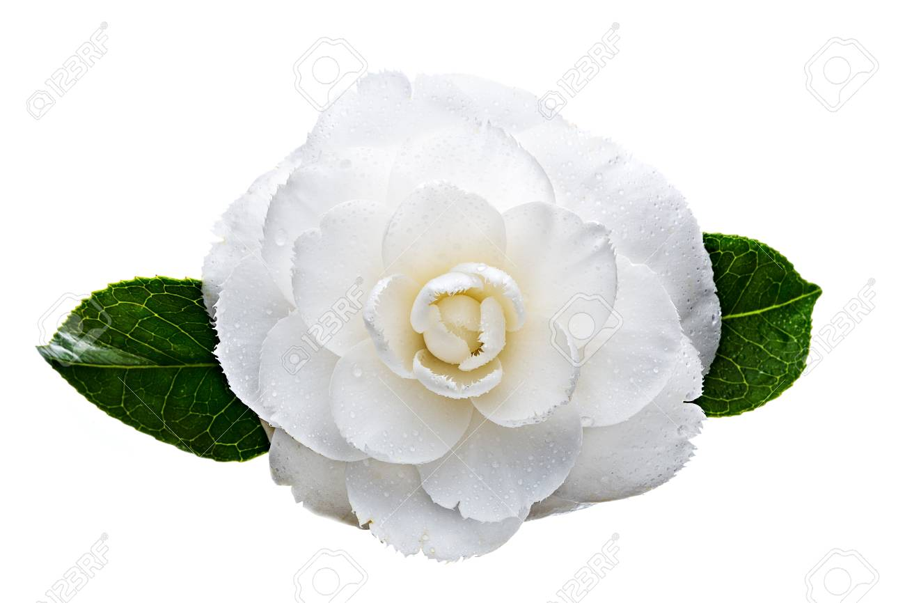 White Camellia Flower Isolated On White Background Camellia