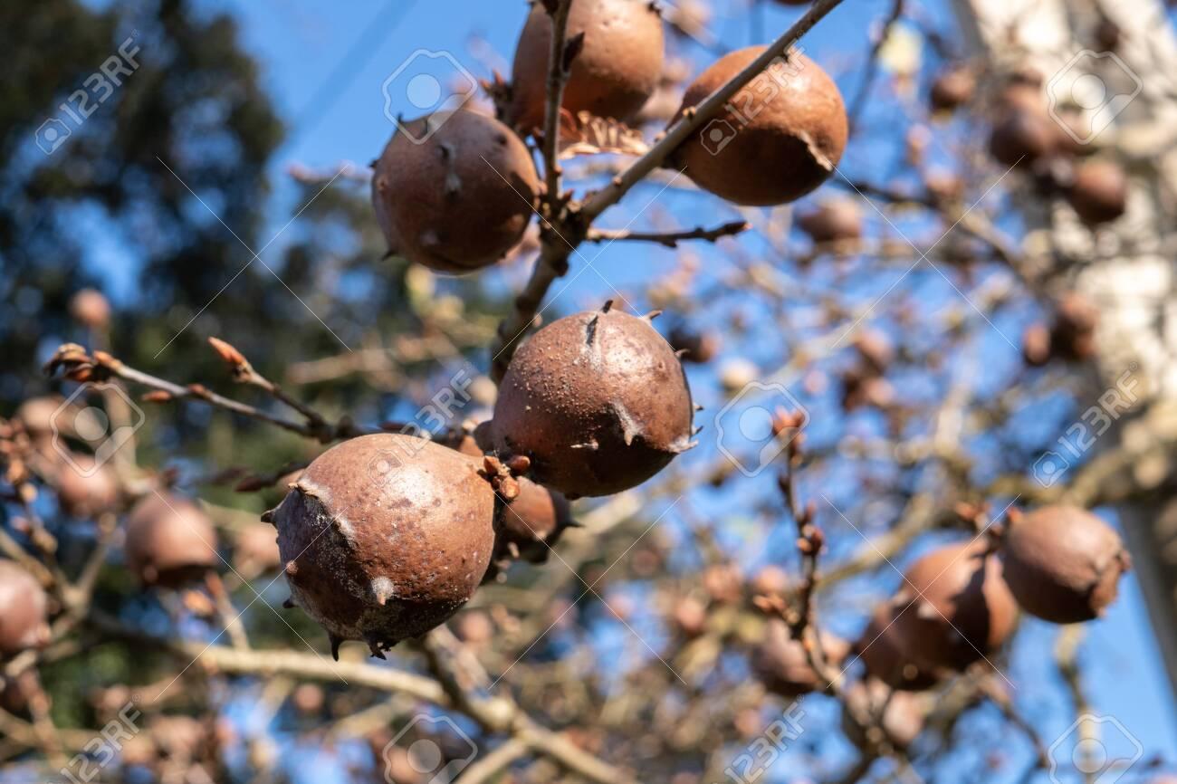 Oak Galls on oak branch. Blue sky background - 122143473