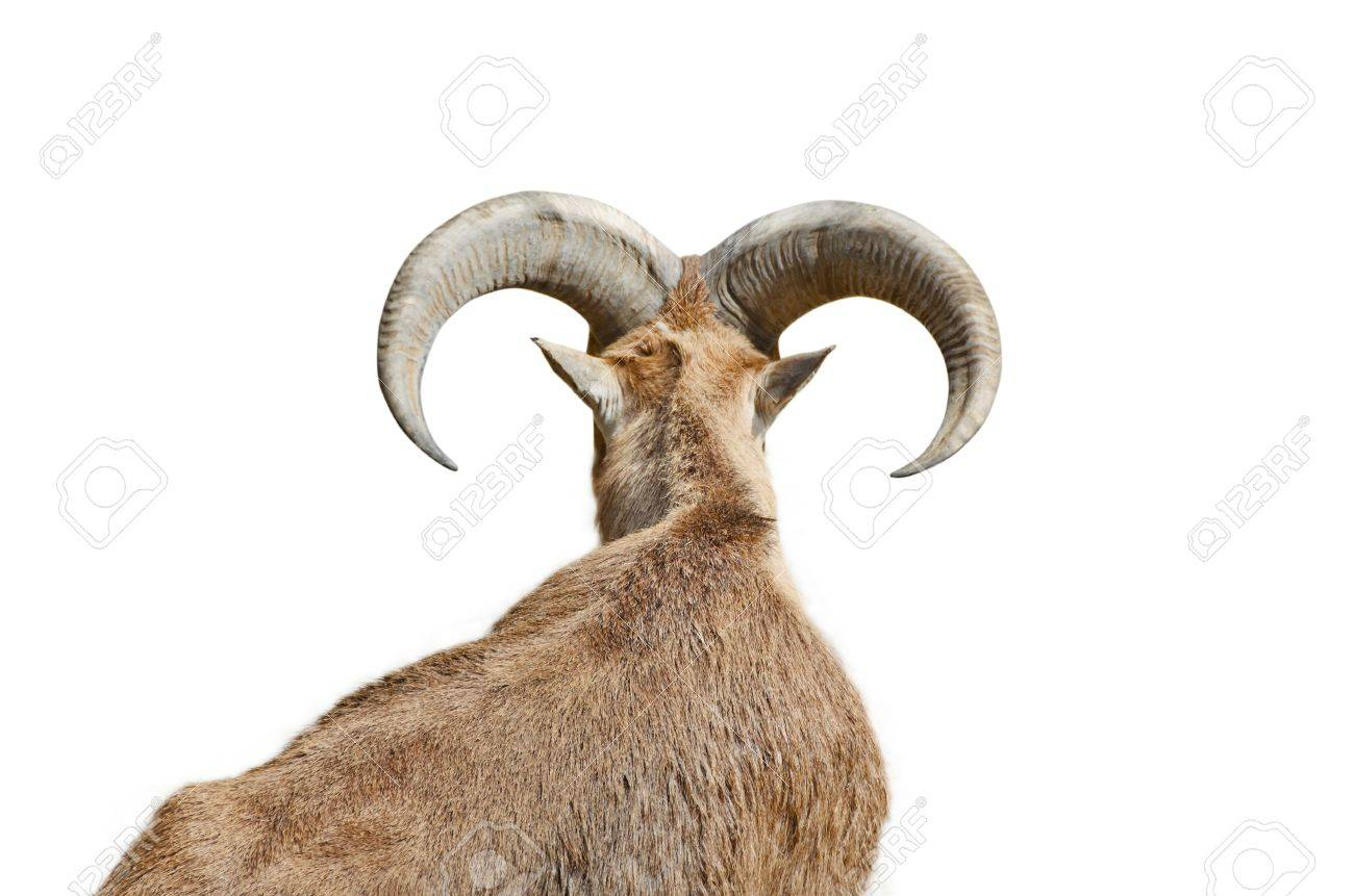 the back is a goat with big horns stock photo picture and royalty