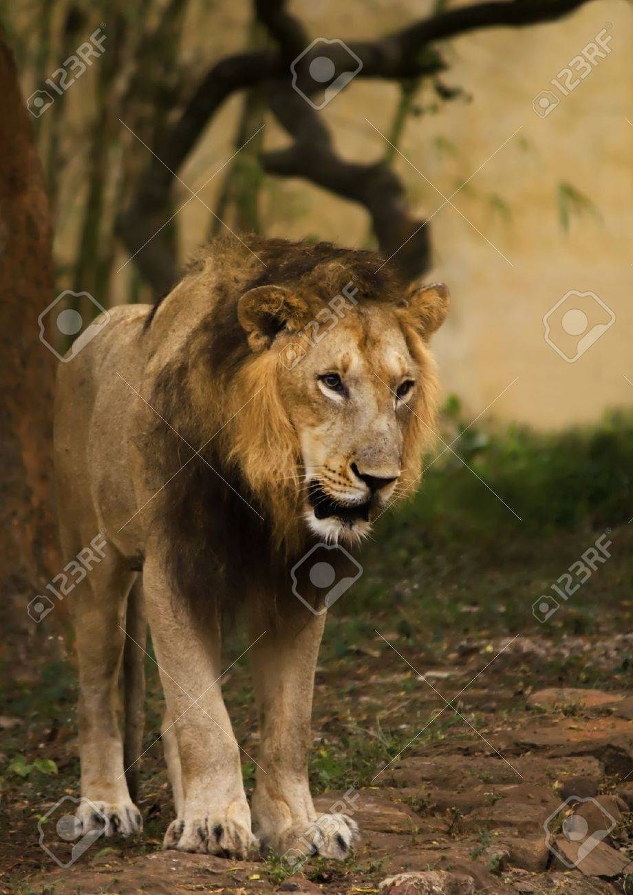 a lazy lion kings stroll in his cage Stock Photo - 10322625