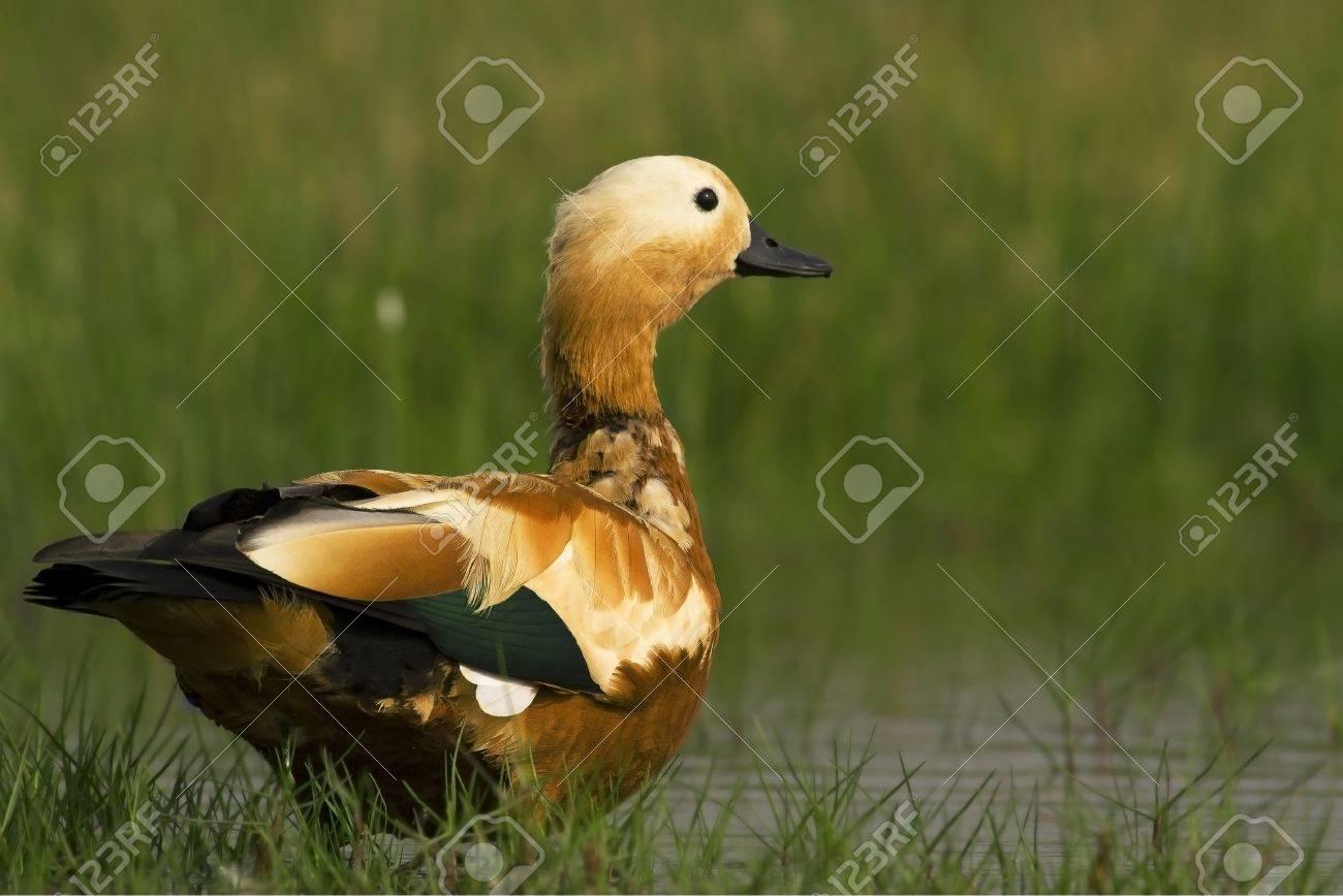 Ruddy Shelduck male in its natural habitat at marshlands of Manglajodi Chilka Stock Photo - 12907505