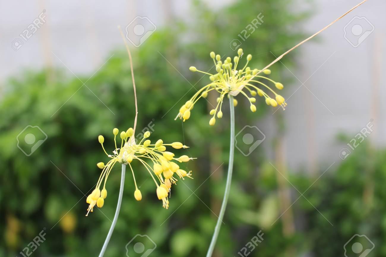 Close Up View Of Yellow Flower Allium Flavum In The Organic Garden