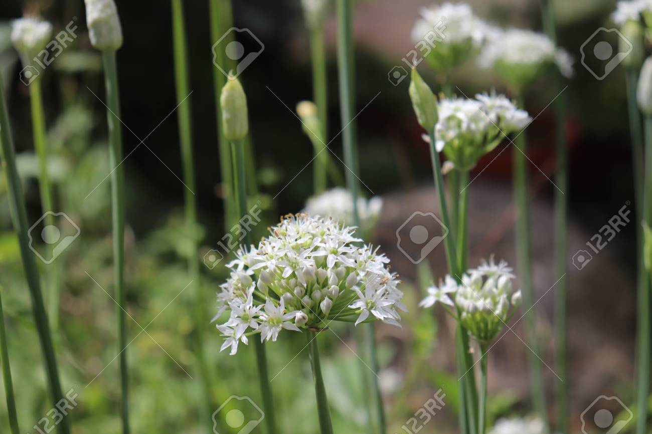 Closeup Of White Flowers Of The Garlic Chives Allium Tuberosum