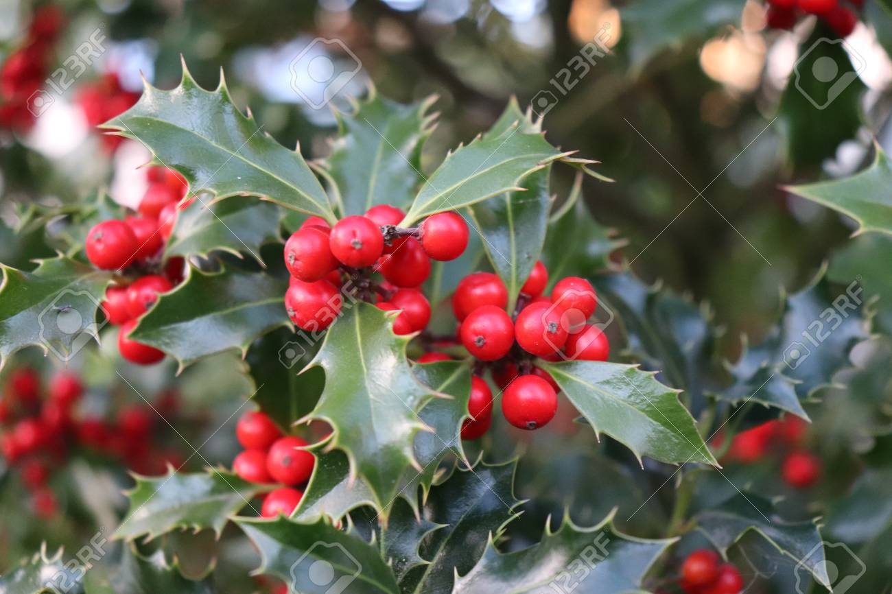 Symbol of christmas in europe closeup of holly beautiful red symbol of christmas in europe closeup of holly beautiful red berries and sharp leaves on buycottarizona Image collections