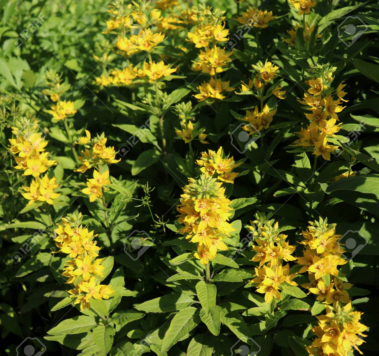 Lysimachia Lichiangensis Yellow Flowers With Green Leaves In