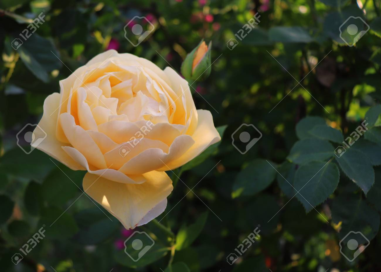 Closeup rose graham thomas in the organic garden with blurred closeup rose graham thomas in the organic garden with blurred foliageture and rose concept thecheapjerseys Images