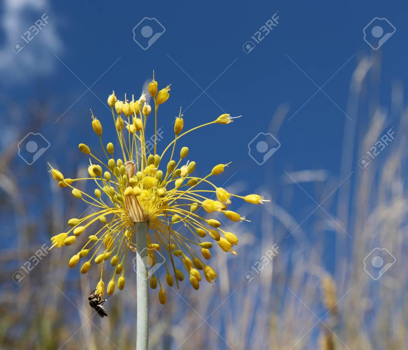Close Up View Of Yellow Flower Allium Flavum On A Meadow Allium