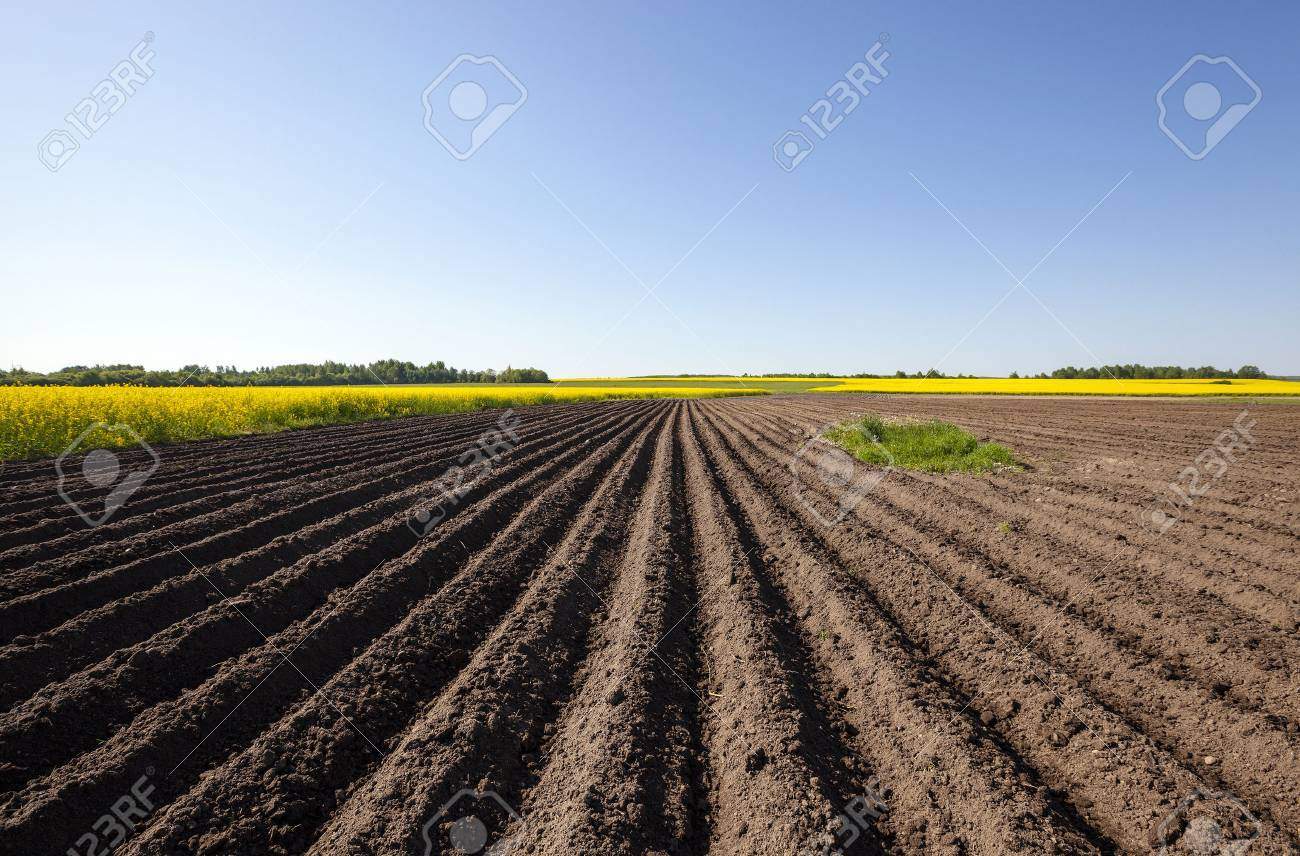 plowed agricultural field. Near growing canola. Blue sky. - 40369186