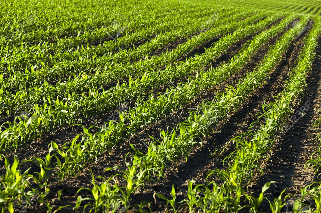 an agricultural field on which there were young sprouts of corn - 40371397